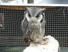 Whitefaced_scops_owl